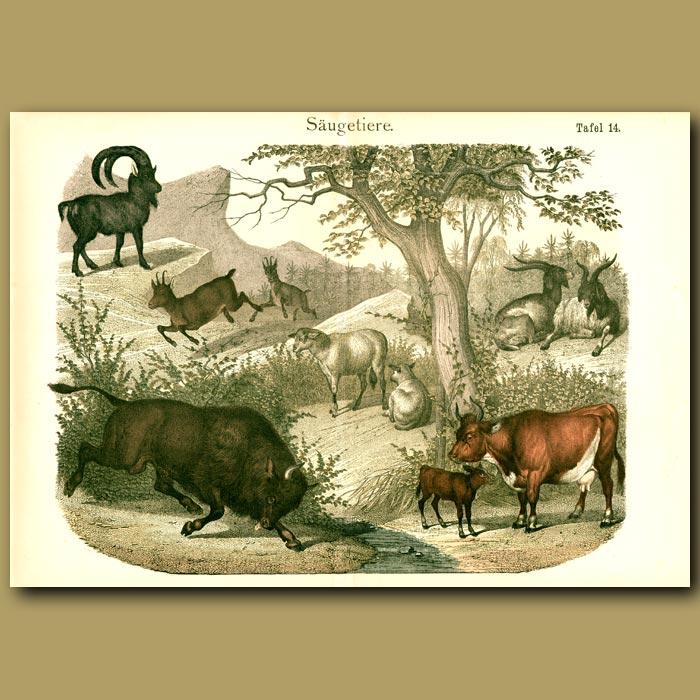 Antique print. Wild Bull, Ibex, Cows, Sheep, Goat