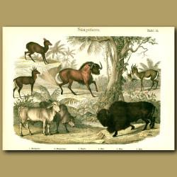 Antelopes, Bison, Gnu, Gazelle
