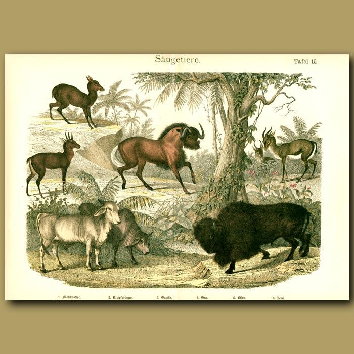 Antique print. Antelopes, Bison, Gnu, Gazelle