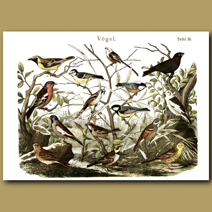 Antique print. Tits, Finches And Thrushes. Church Spire In Background