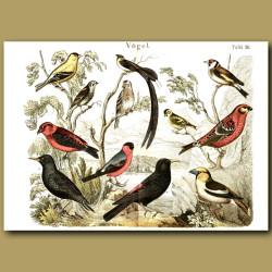 Finches, Blackbirds, Larks Etc