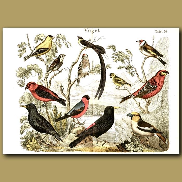 Antique print. Finches, Blackbirds, Larks Etc