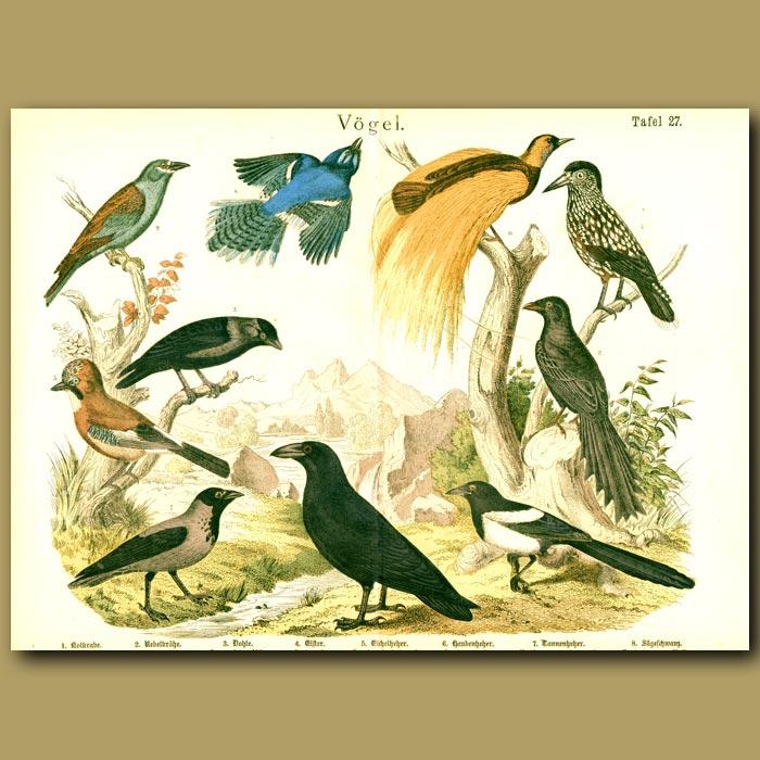 Antique print. Great Bird Of Paradise, American Blue Jay, Magpie Etc
