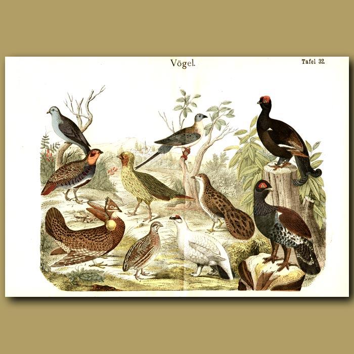 Antique print. Game Birds Including Partridges