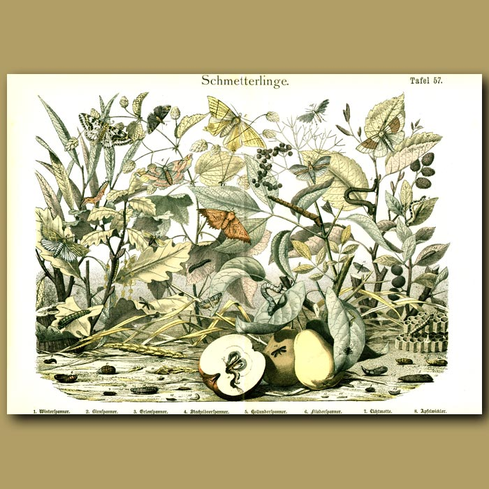 Antique print. Delicately Colored Butterflies And Moths On Fruit