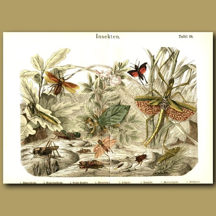 Antique print. Praying Mantis, Stick Insects, Cricket, Mole Cricket, Etc
