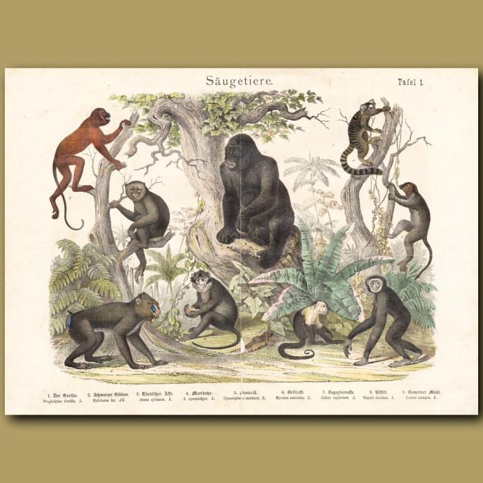 Antique print: Apes