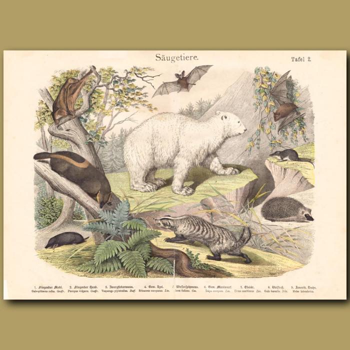 Antique print: Polar Bear, Lemurs, Bats
