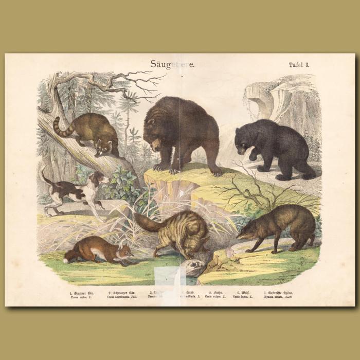 Antique print: Black Bear, Hyaena, Wolf, Fox