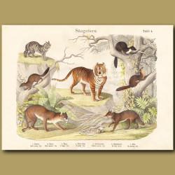 Tiger, Puma, Jackal