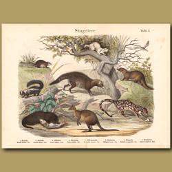 Otter, Kangaroo, Quoll, Stoat