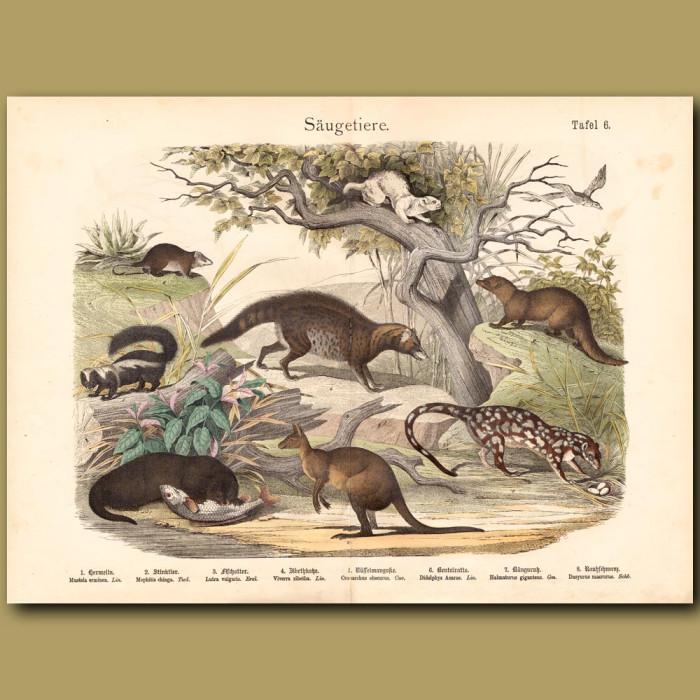 Antique print: Otter, Kangaroo, Quoll, Stoat