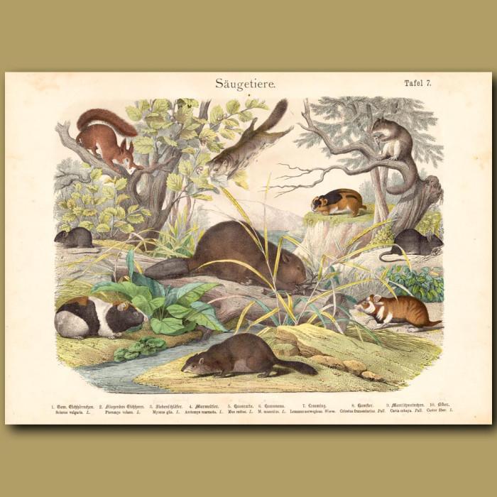 Antique print: Beaver, Red Squirrel, Groundhog