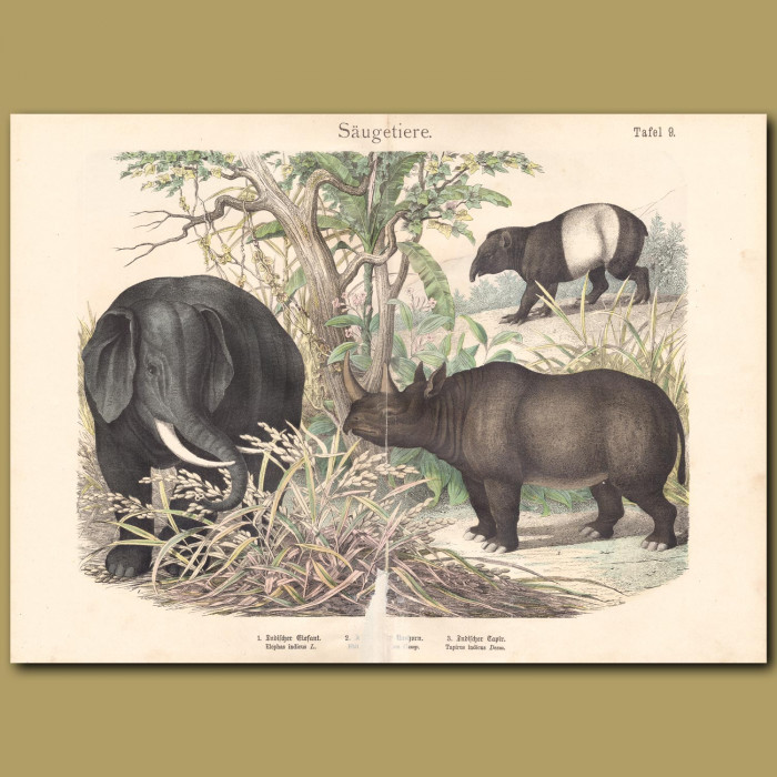 Antique print: Elephant, Rhino, Tapir