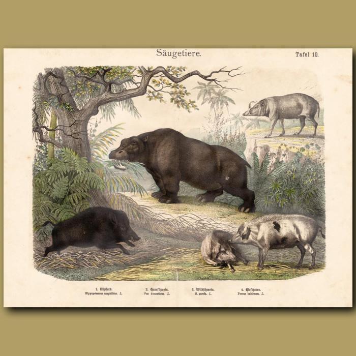 Antique print: Hippo, Wild Boar, Pigs