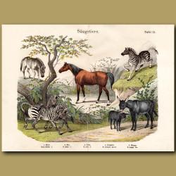 Horse, Zebra, Quagga
