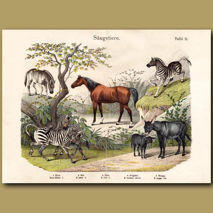 Antique print: Horse, Zebra, Quagga