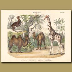 Camel, Giraffe, Llama