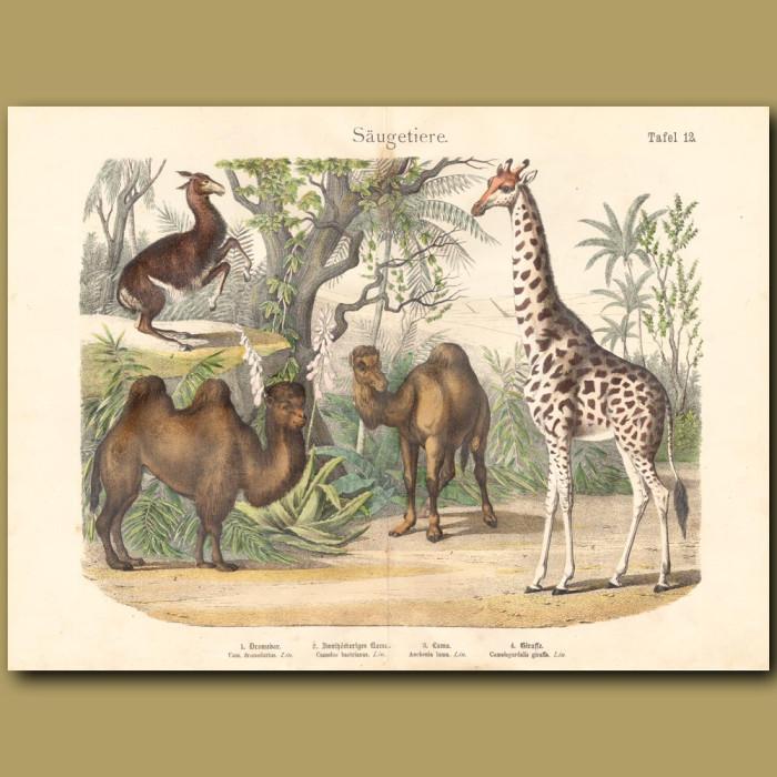 Antique print: Camel, Giraffe, Llama