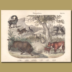Chamois, Ibex, Goat, Sheep, Cattle, Aurochs