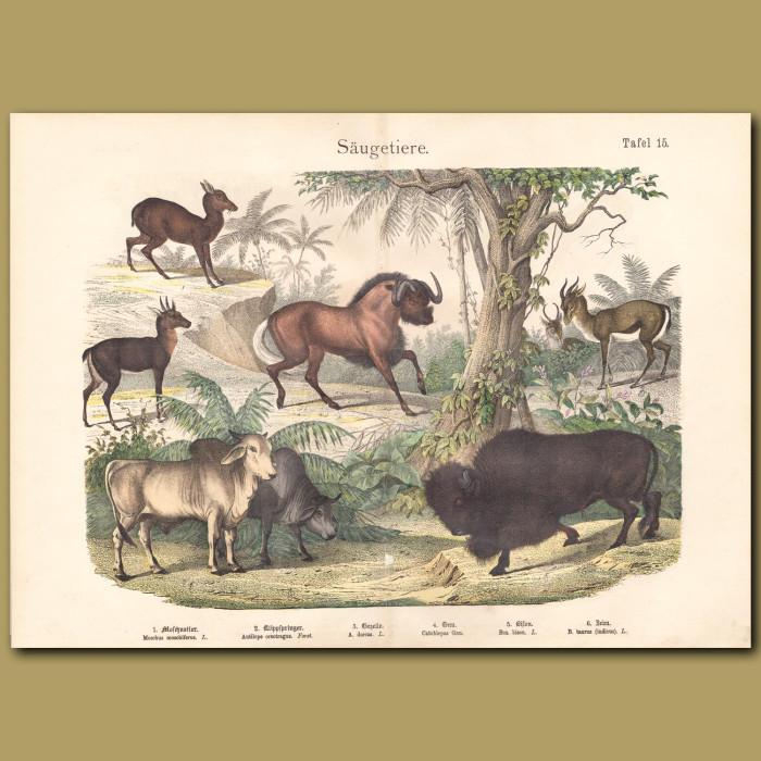 Antique print: Musk Deer, Klipspringer, Gazelle, Gnu, Bison, Cattle