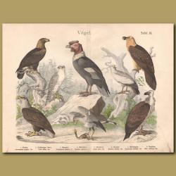 Griffon Eagle, Vulture, Egyptian Vulture, Ring-tailed Eagle, Sea Eagle, Secretary Bird, Falcon