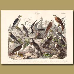 Falcons, Harpy Eagle