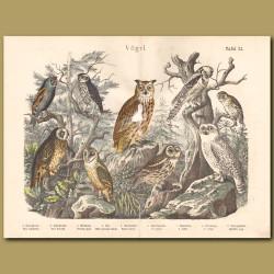 Short-eared Owl, Barn Owl, Brown Owl, Eurasian Eagle Owl, Northern Hawk Owl, Hawk Owl, Snowy Owl, Scops Owl