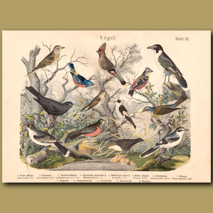 Antique print: Flycatchers, Tanager, Shrike
