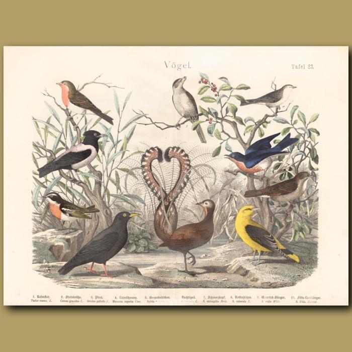 Antique print: Lyre bird, Starling, Nightingale
