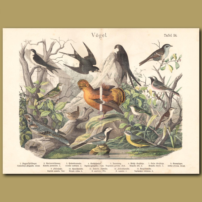 Antique print: Warblers, Black Redstart,Firecrest, Eurasian Wren, White Wagtail, Tree Pipit, Cock of the Rock