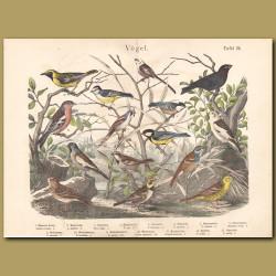 Eurasian Skylark, Horned Lark, Great Tit, Bearded Reedling, Buntings, Chaffinch