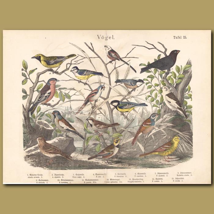 Antique print: Eurasian Skylark, Horned Lark, Great Tit, Bearded Reedling, Buntings, Chaffinch