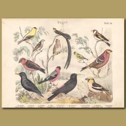 Linnet,Goldfinch, Common Redpoll, Siskin, American Goldfinch, Paradise Whydah, Chaffinch