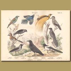 Raven, Hooded Crow, Jackdaw, Magpie, Eurasian Jay, Blue Jay, Spotted Nutcracker, Black Flybird, European Roller, Greater Bird of Paradise