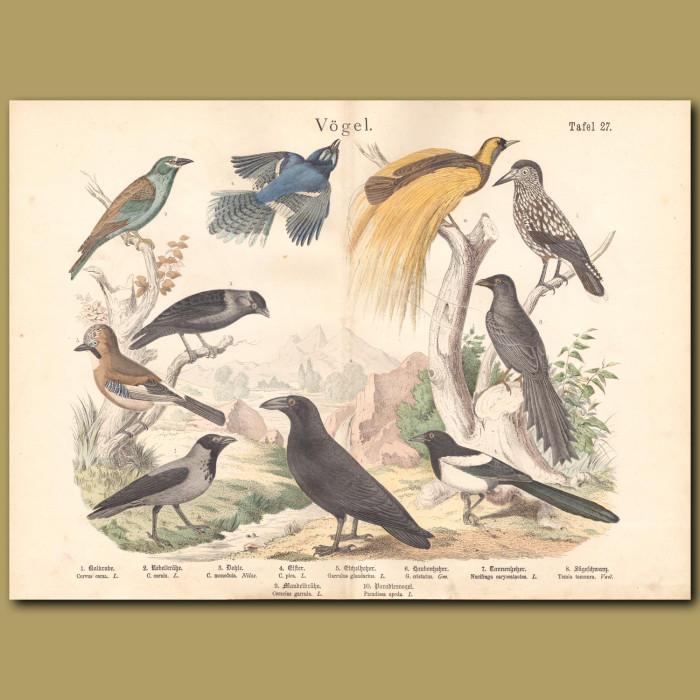 Antique print: Raven, Hooded Crow, Jackdaw, Magpie, Eurasian Jay, Blue Jay, Spotted Nutcracker, Black Flybird, European Roller, Greater Bird of Paradise