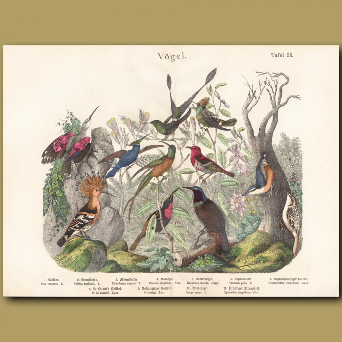 Antique print: Hummingbirds, Hoopoe, Riflebird