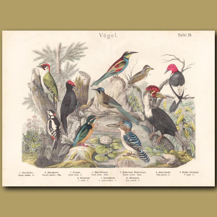 Antique print: Woodpeckers, Kingfisher, Hornbill