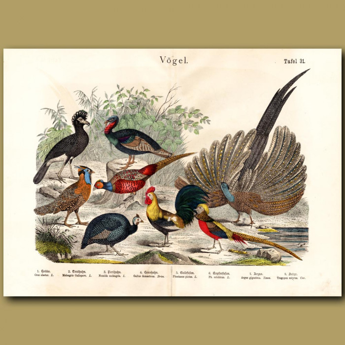 Antique print: Pheasants, Turkey, Guineafowl