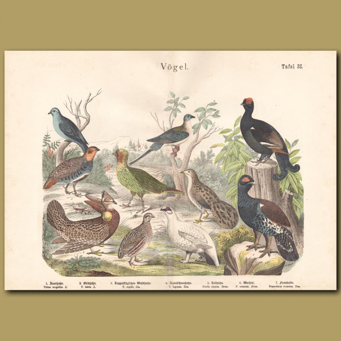 Antique print: Western Capercaillie, Black Grouse, Greater Prairie Chicken, Willow Ptarmigan, Partridge, Francolin