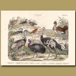 Ostrich, Rhea, Cassowary
