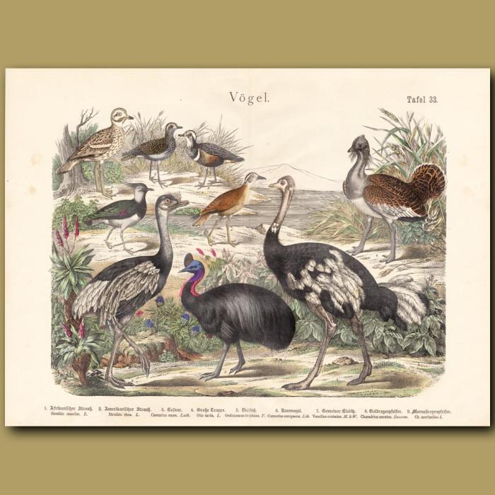 Antique print: Ostrich, Rhea, Cassowary