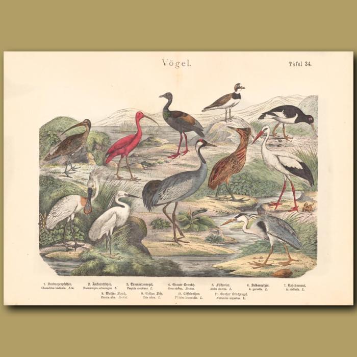 Antique print: Stork, Ibis, Oystercatcher, Crane, Heron