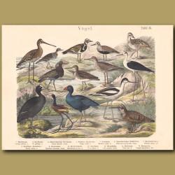 Woodcock, Godwit,Stint