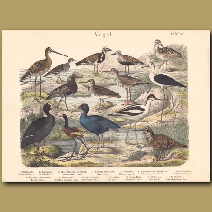 Antique print: Woodcock, Godwit,Stint