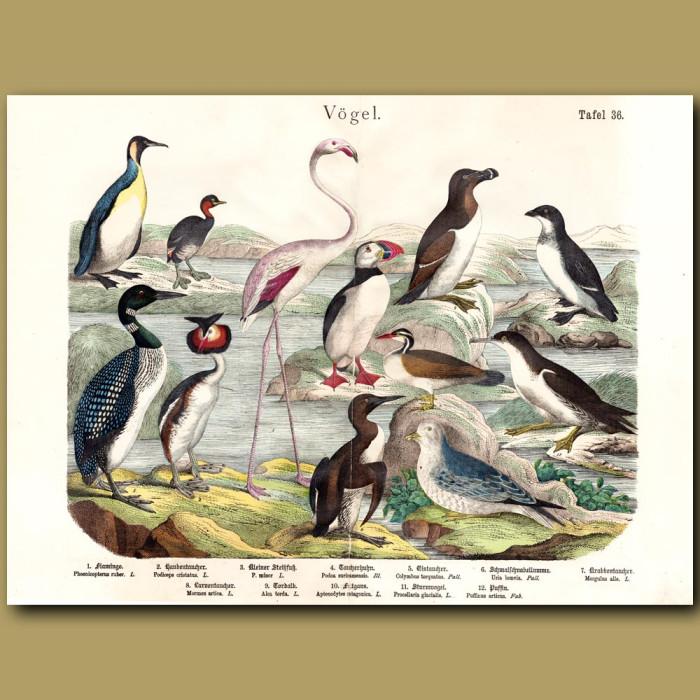 Antique print: Flamingo, Grebe, Auk, Puffin