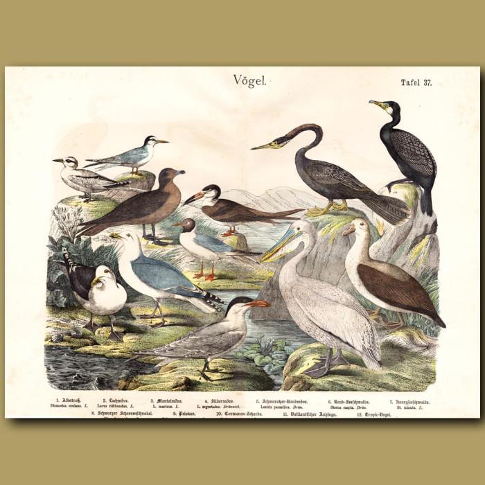 Antique print: Albatross, Gulls, Pelican