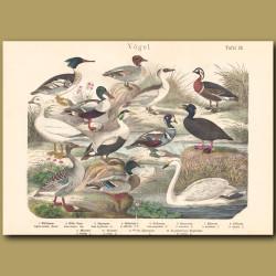 Swan, Goose, Duck