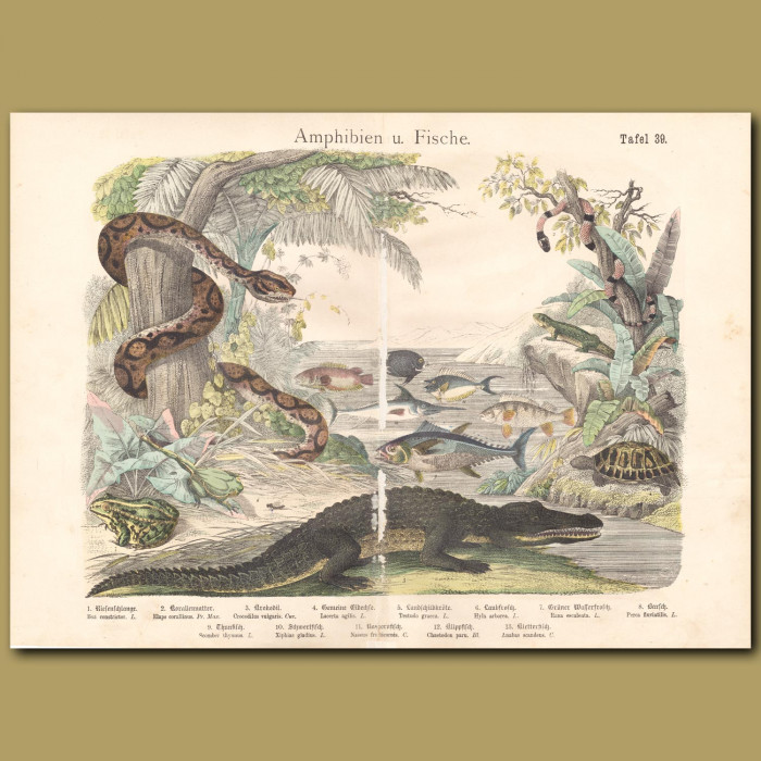 Antique print: Boa, Coral Snake, Crocodile, Tortoise, Frog