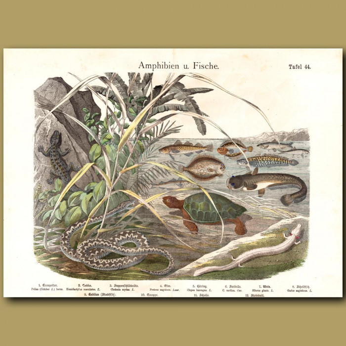 Antique print: Gecko, Green Turtle, Salamander